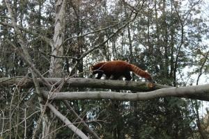 kleiner Panda - ich mag die Farben