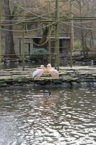 verliebte Pelikane